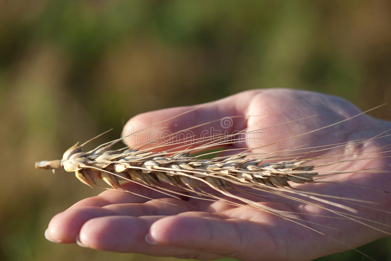 Download Wheat ear in hand stock photo. Image of giving, harvesting - 25699958