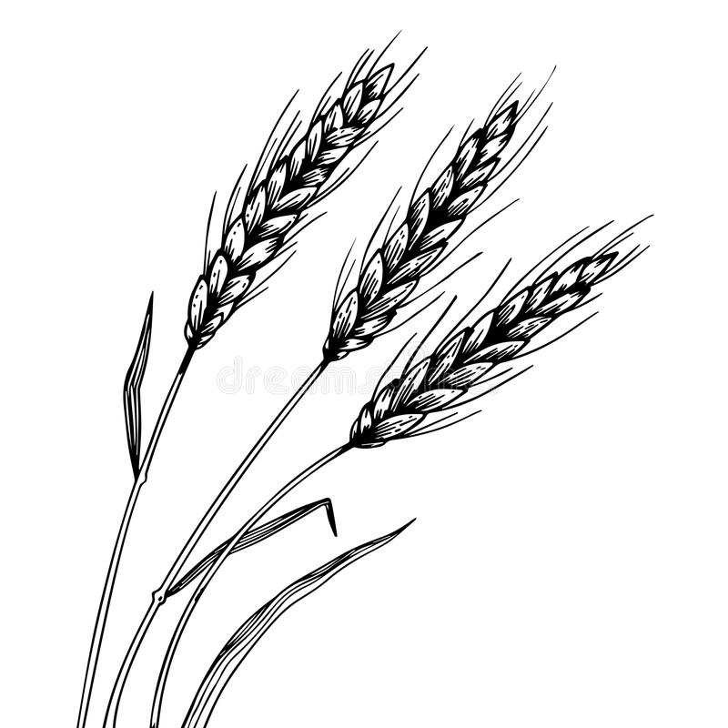 Wheat ear spikelet engraving vector. Illustration. Scratch board style imitation. Black and white hand drawn image stock illustration