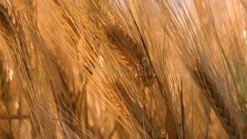 Wheat Ear in Sunset, Agriculture Field, Grains, Cereals, Harvest. Twilight in Village.  stock image