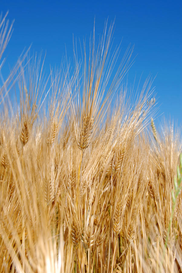 Download Wheat ears stock image. Image of harvest, gray, blue - 10271495