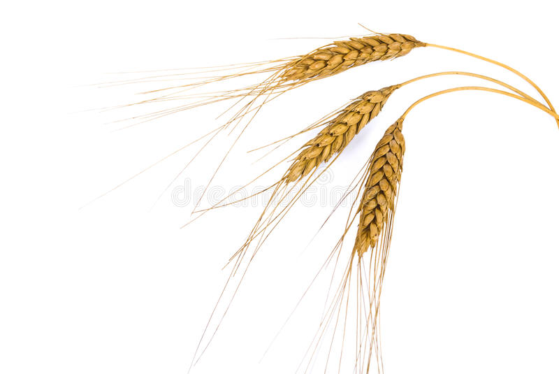 Download Wheat ears stock photo. Image of cultivation, crop, herb - 13194796