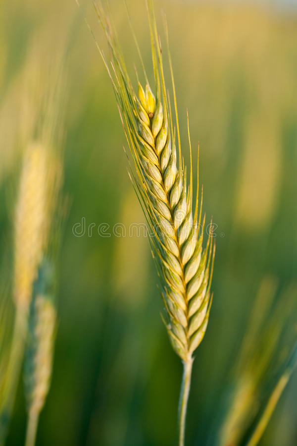 Download Wheat Ears Royalty Free Stock Photo - Image: 15158105