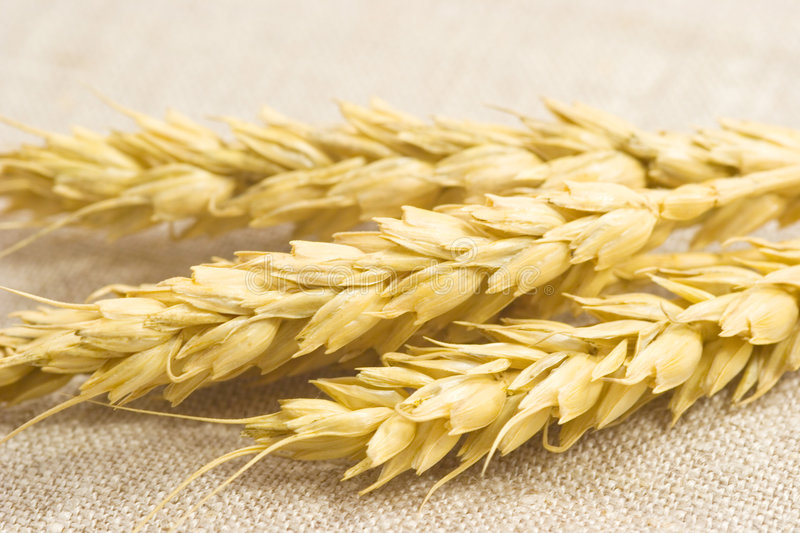 Download Wheat Ears Royalty Free Stock Image - Image: 2311126