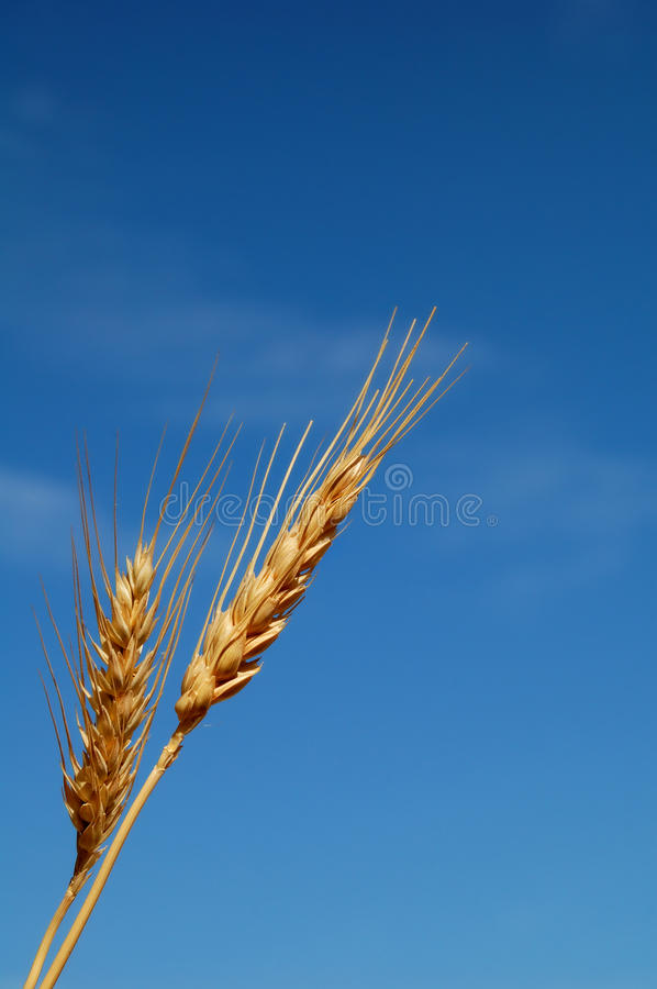 Download Wheat ears stock image. Image of seeds, growth, simplicity - 24480229