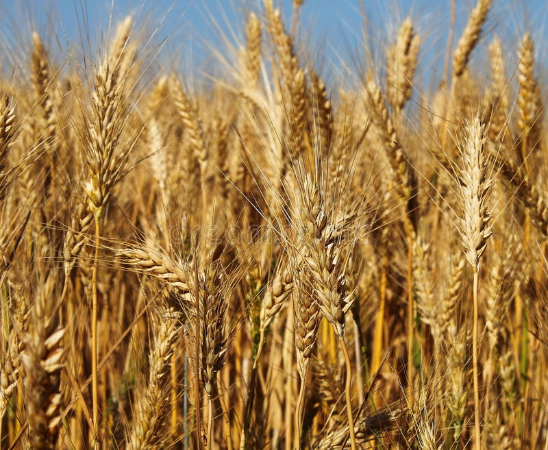 Download Wheat ears stock photo. Image of ripe, yellow, field - 25727798