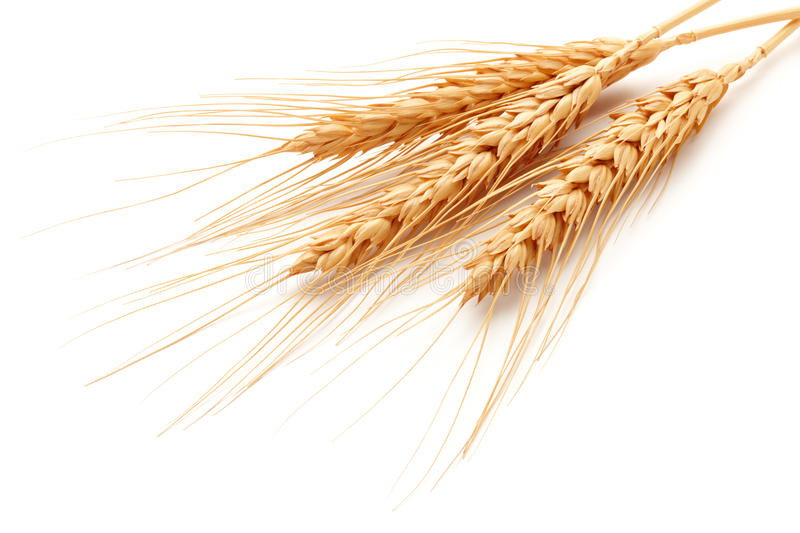 Download Wheat ears stock image. Image of triticum, ears, ingredient - 25923631