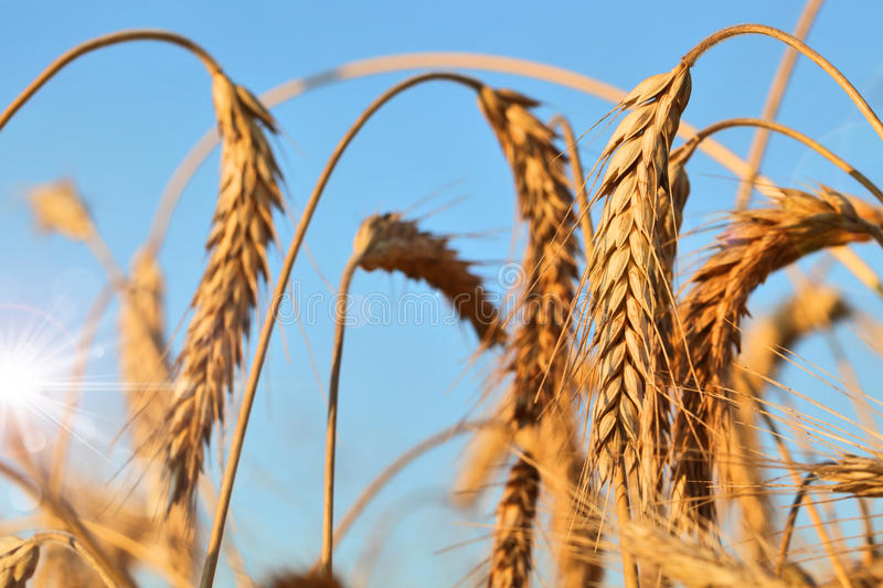 Download Wheat ears stock photo. Image of field, group, nature - 26185304