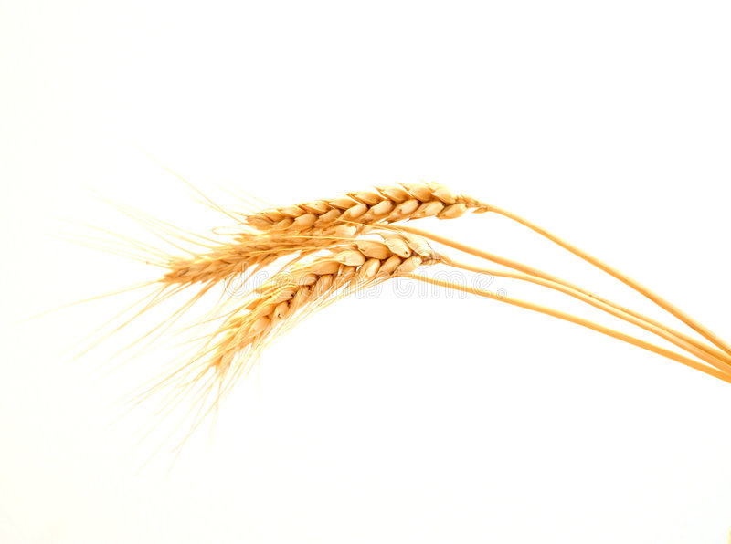 Wheat ears. Isolated wheat ears on a white background stock image