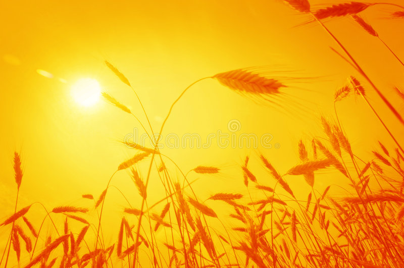 Wheat ears against rising sun. Low angle view of wheat ears against rising sun royalty free stock photo