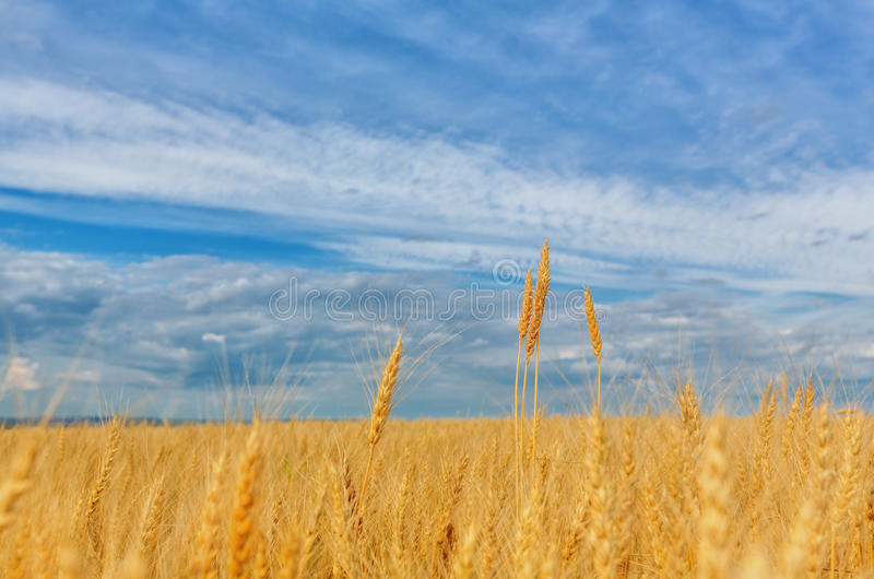 Wheat ears on a background of field and cloudy sky royalty free stock photos