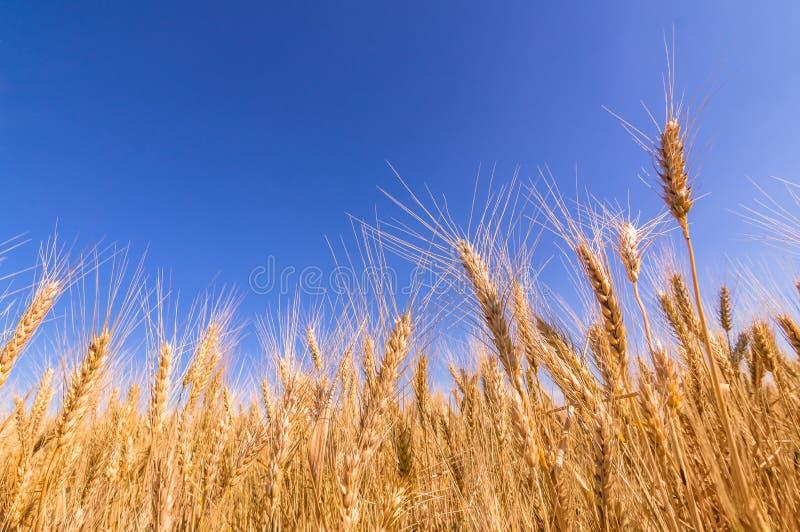 Wheat ears and blue sky. stock photo