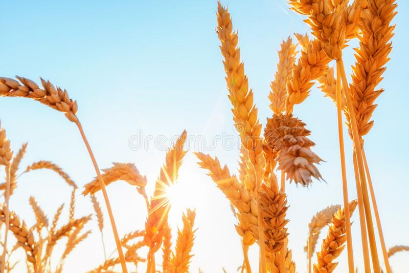 Wheat ears and clear sky with sun royalty free stock image