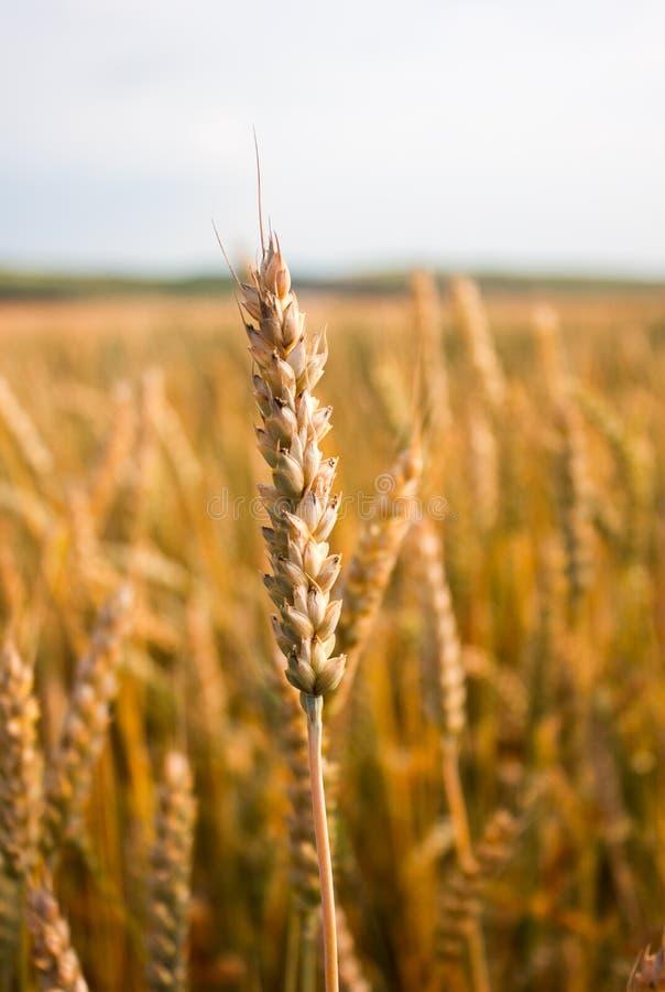Wheat ears close-up stock photo