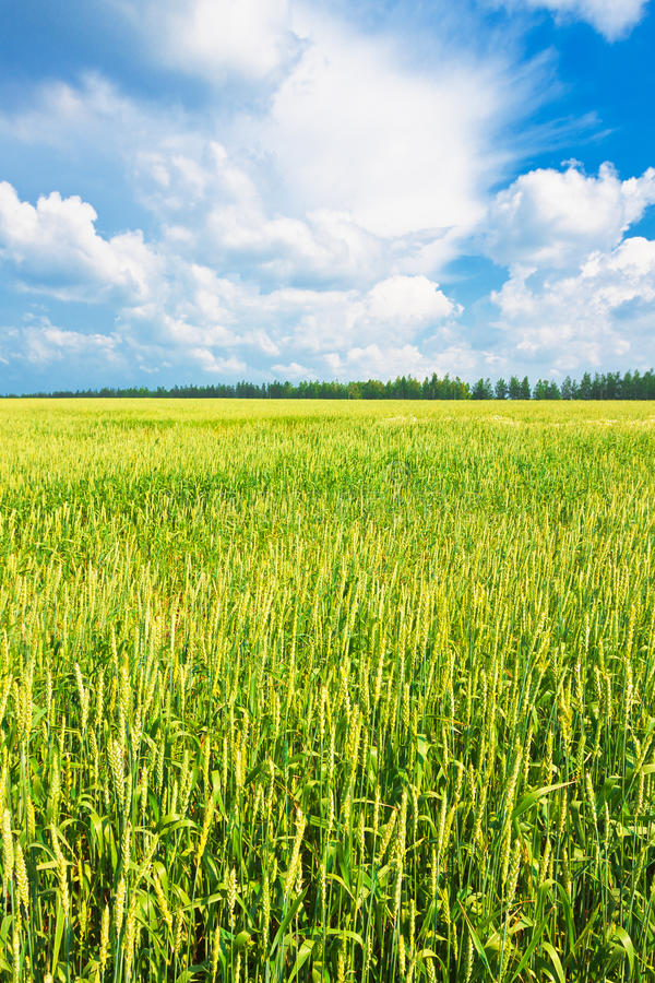 Download Wheat Ears And Cloudy Sky Royalty Free Stock Photo - Image: 25744665