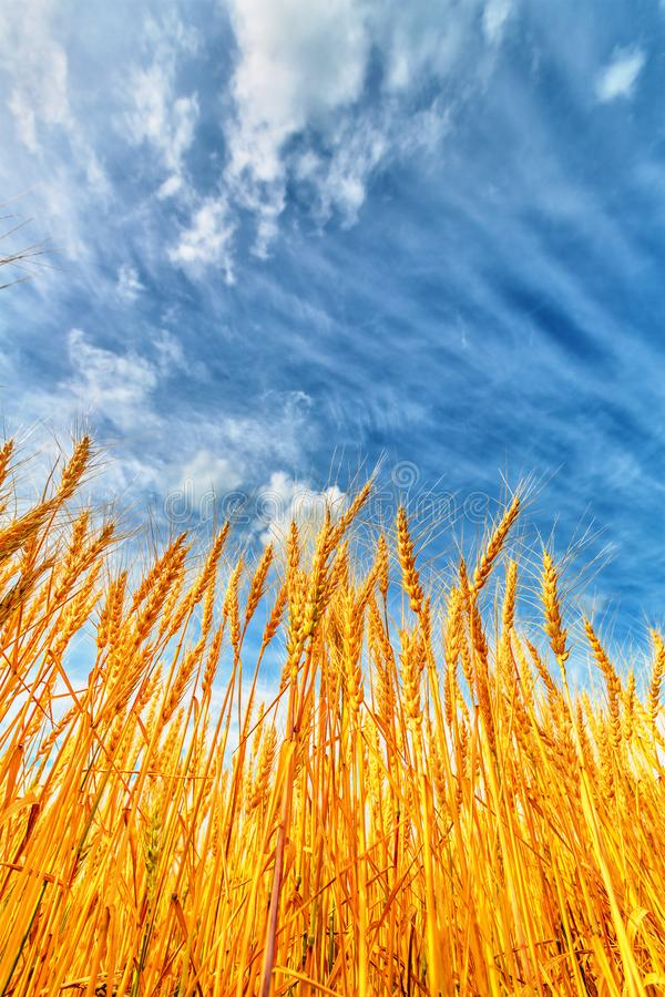 Wheat ears and cloudy sky stock images