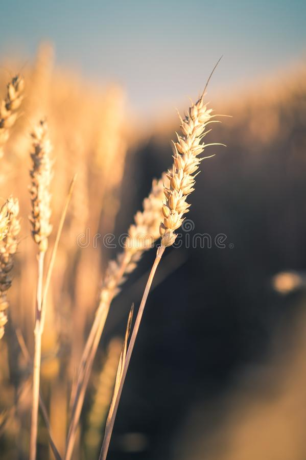 Wheat ears in evening sunset light. Natural light back lit. Beautiful sun flares bokeh. Wheat ears in evening sunset light. Natural light back lit stock photography
