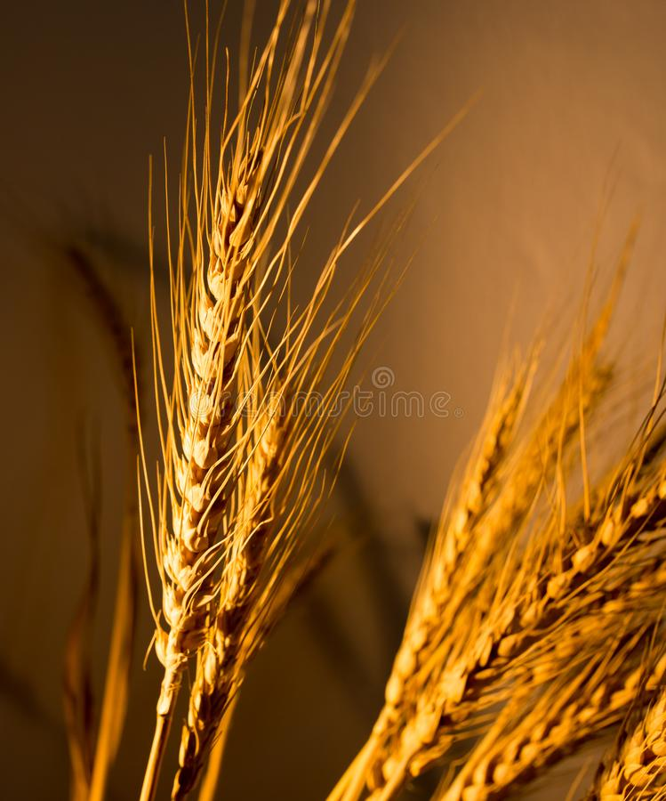Wheat ears in golden light. As background stock images