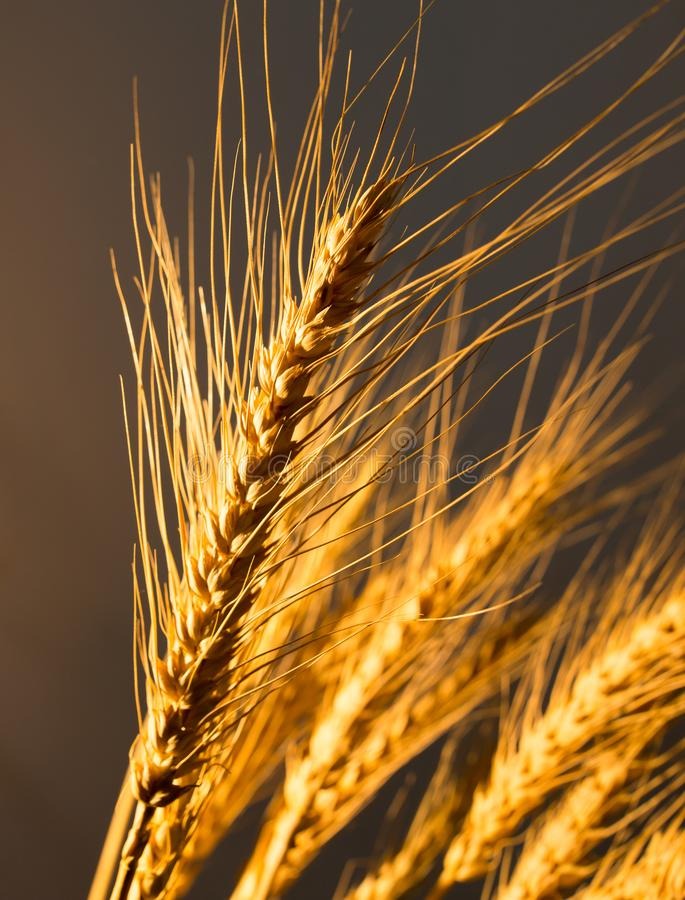 Wheat ears in golden light royalty free stock images