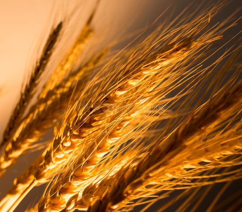 Wheat ears in golden light. As background royalty free stock photos
