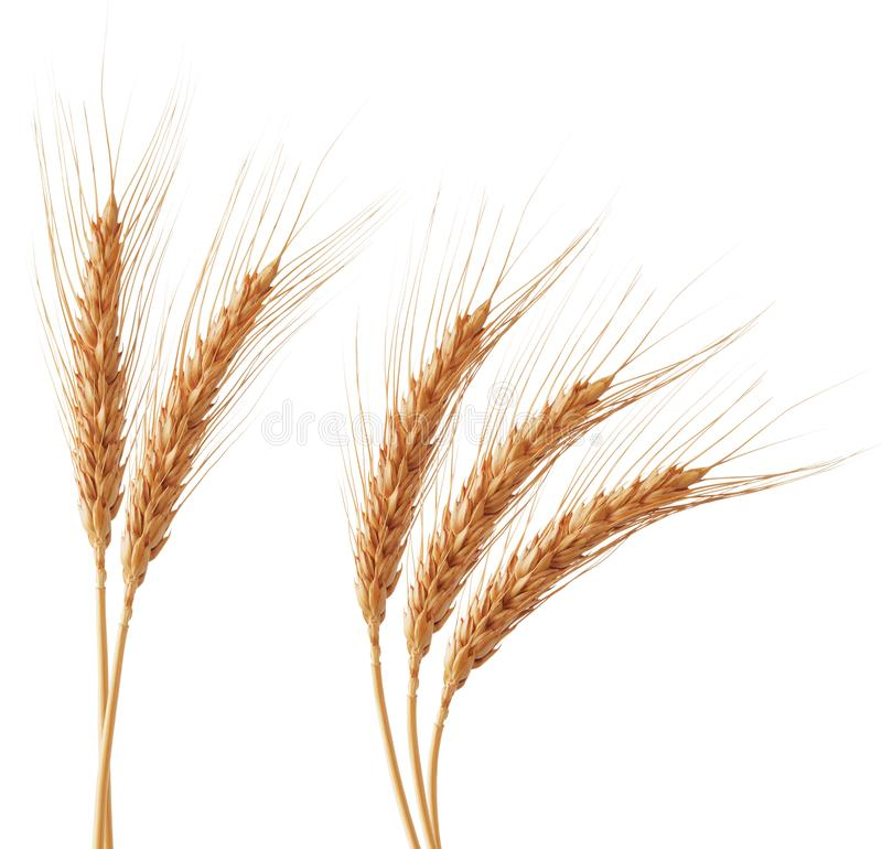 Wheat ears. Group of wheat ears isolated on white royalty free stock photos