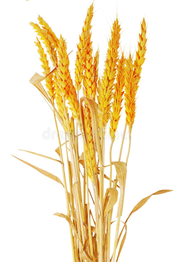 Wheat Ears Ilie.  Isolated On White Background Stock Images
