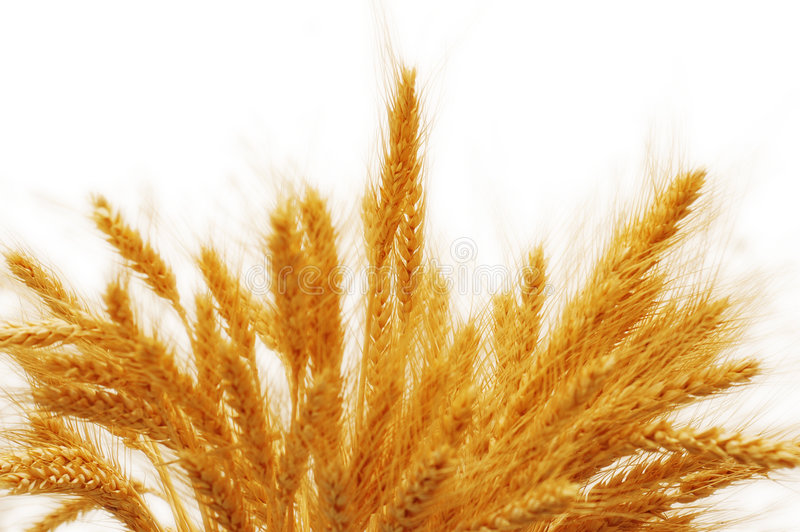 Download Wheat ears isolated stock image. Image of seed, closeup - 1718691