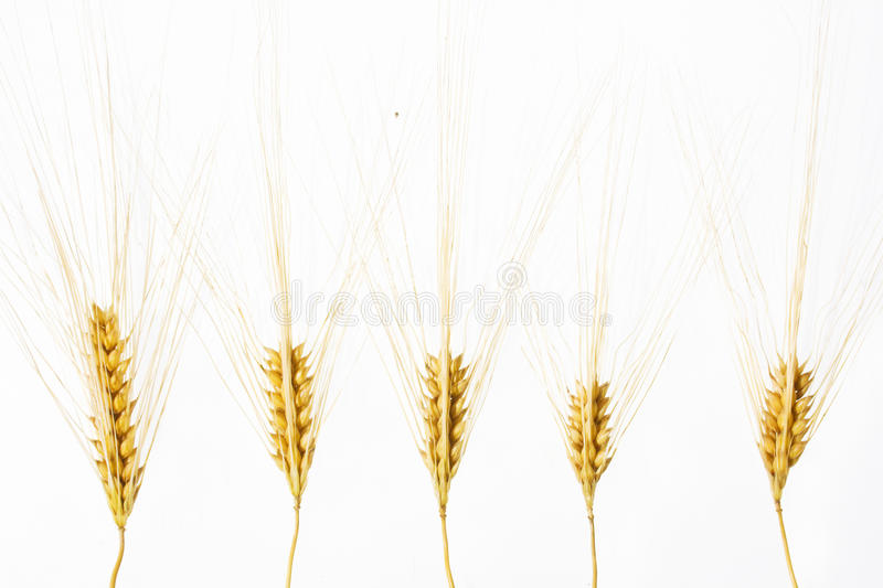 Download Wheat Ears Isolated Over White Stock Illustration - Image: 17028280