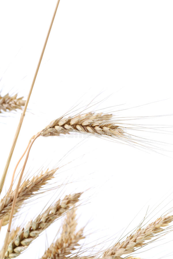 Download Wheat ears. stock image. Image of fiber, natural, fresh - 41529503