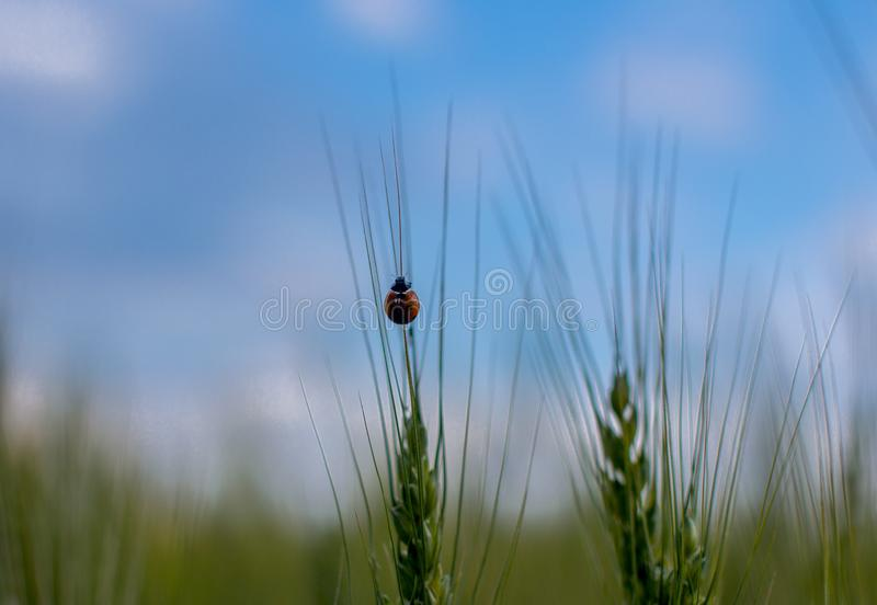 Wheat, ears of wheat royalty free stock photo