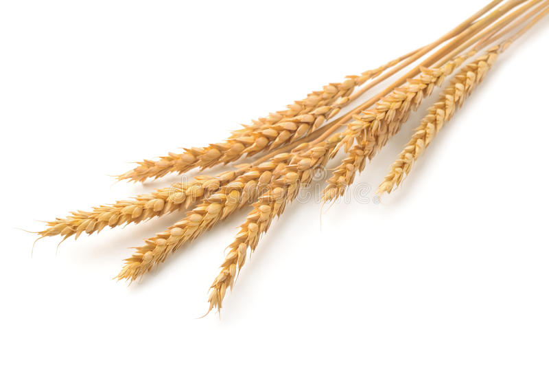 Wheat ears. Ripe wheat ears isolated on white royalty free stock images