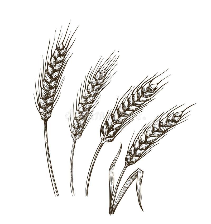 wheat ears sketch stock vector illustration of retro ear of corn clip art images Corn Field Clip Art