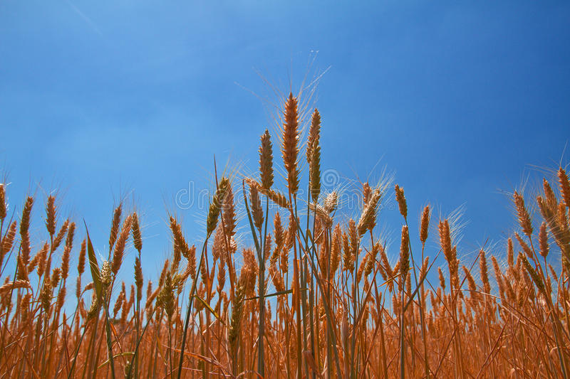 Wheat ears under blue sky stock photos