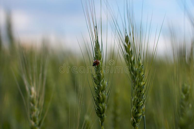 Wheat, ears of wheat royalty free stock images