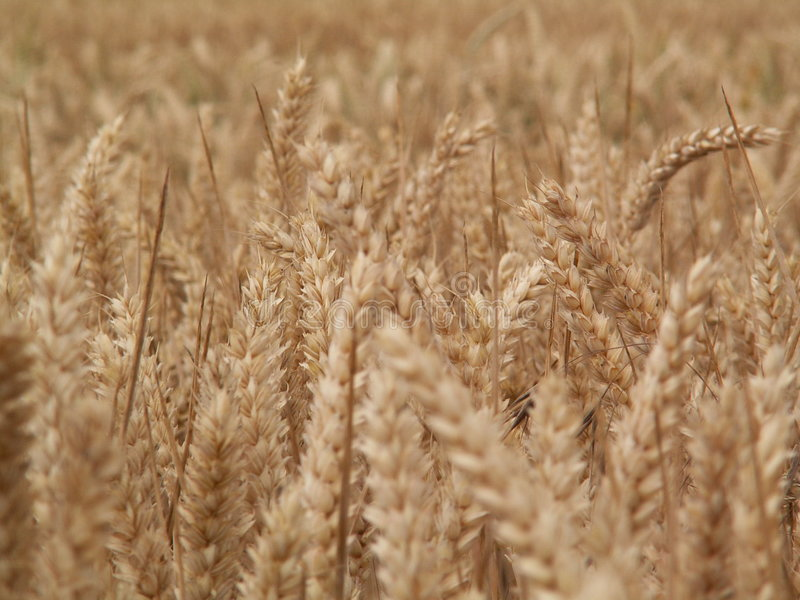Download Wheat epi stock photo. Image of stalk, country, farmer - 162898