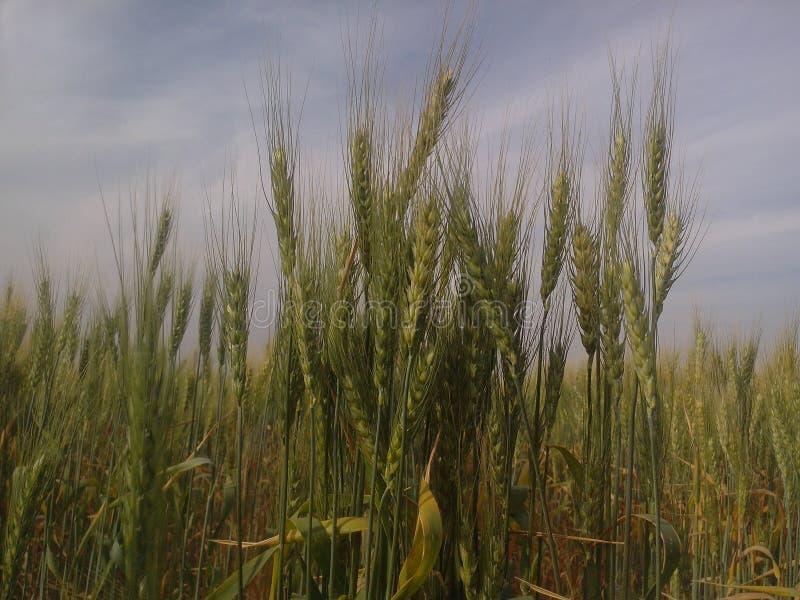 Wheat farm royalty free stock photos