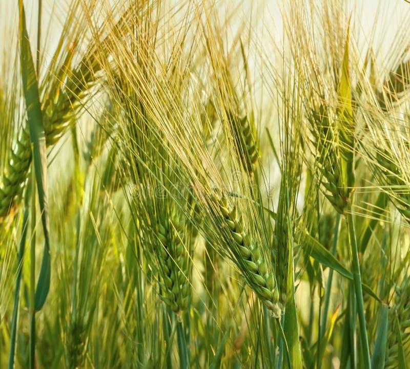 Wheat farming royalty free stock photos