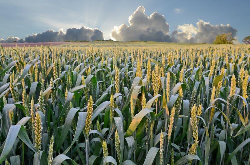 Wheat Farmland in Dusk stock photos