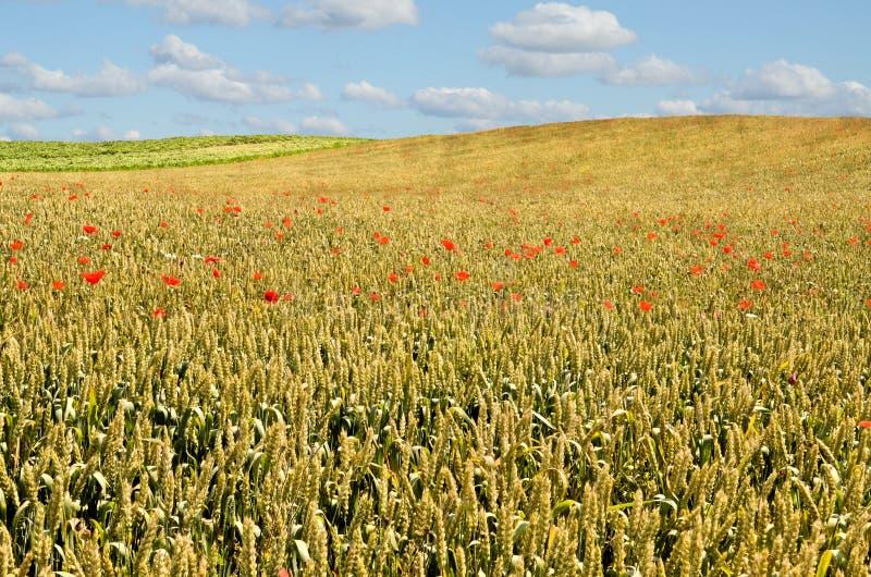 Wheat Farmland royalty free stock photography