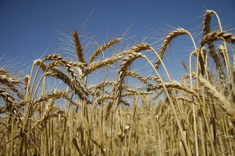 Wheat field 1 royalty free stock image