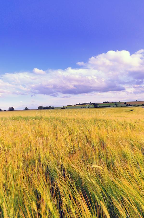 Download Wheat Field stock photo. Image of rural, baden, germany - 10143012