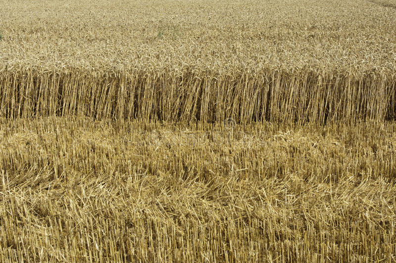 Wheat field. Horizontal picture of a wheat field royalty free stock photos