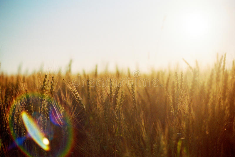 Download Wheat field stock image. Image of beautiful, bread, crop - 13240957