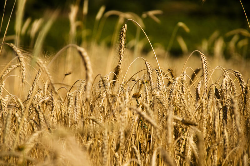 Download Wheat field stock image. Image of harvest, ingredients - 13340053