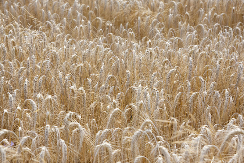 wheat in field stock photo