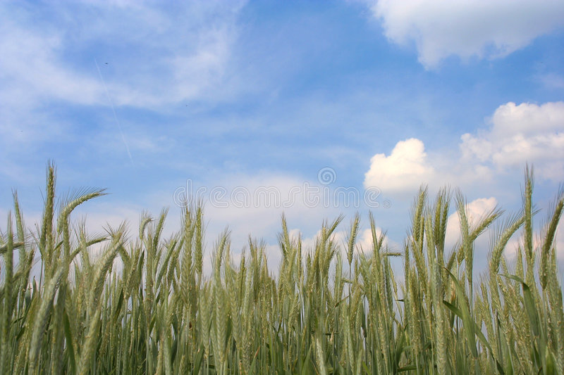 Download Wheat Field Royalty Free Stock Image - Image: 136166