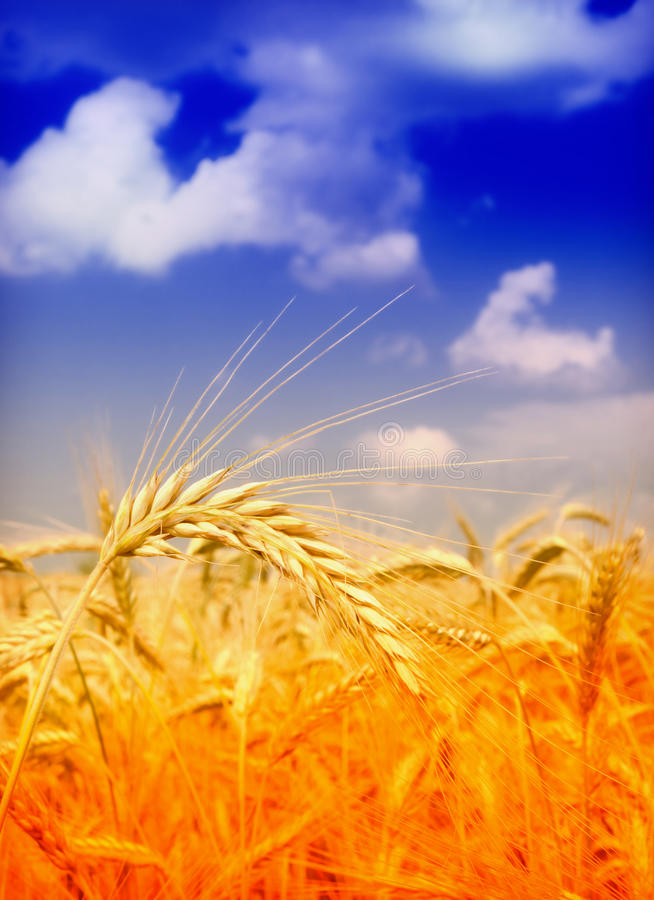 Download Wheat field stock photo. Image of macro, landscape, spring - 14873668