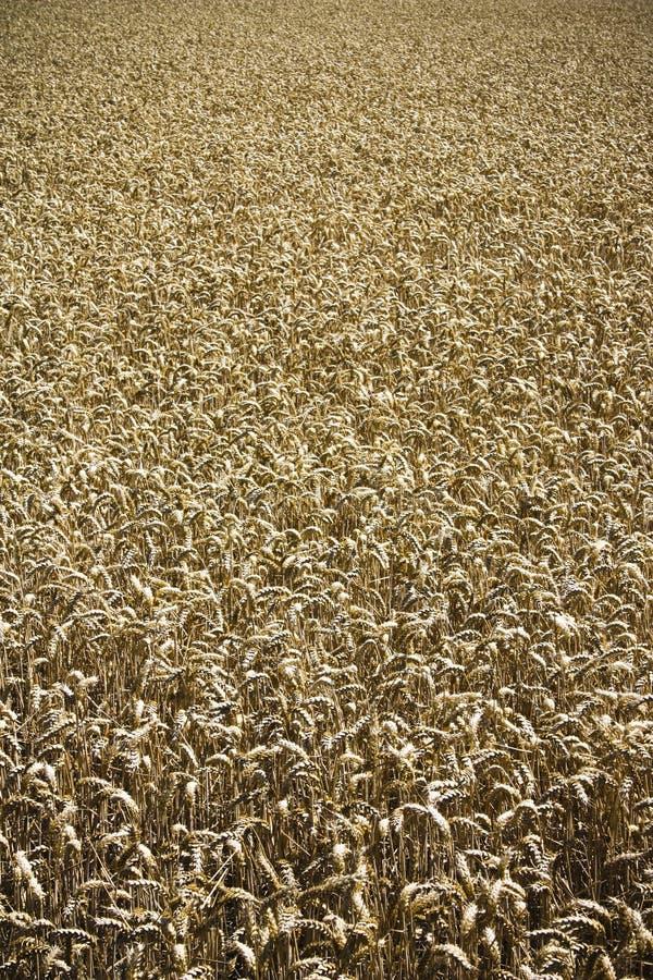 Free Wheat Field Stock Photography - 15596132