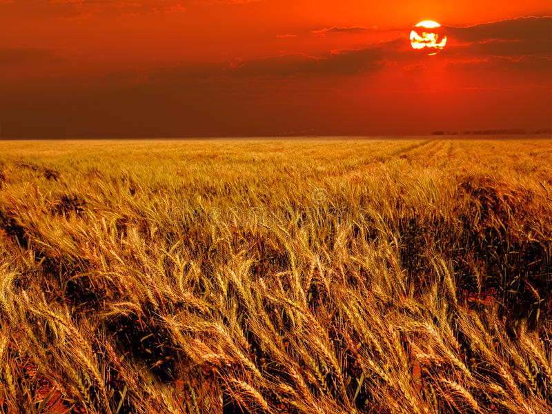 Download Wheat field stock photo. Image of warm, environment, clouds - 15701156