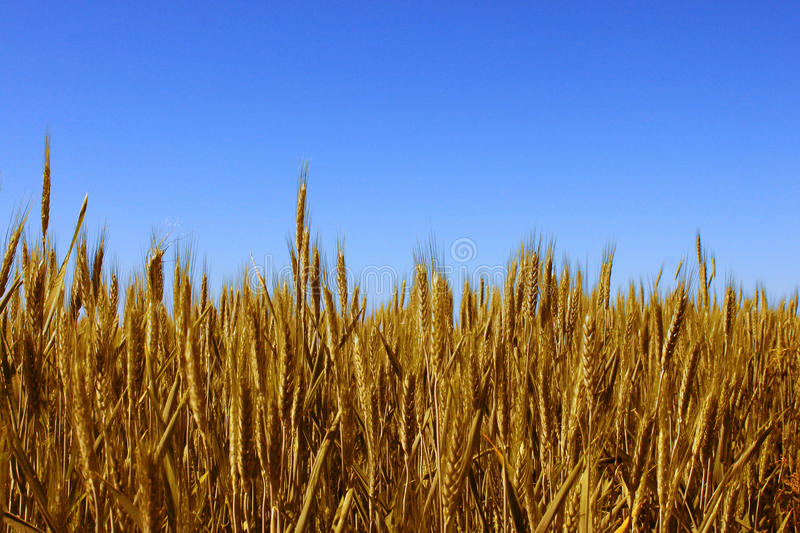 Download Wheat field stock photo. Image of growing, bread, rural - 19742220