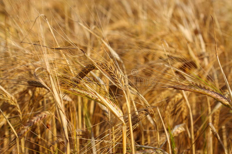 Download Wheat field stock image. Image of summer, industrial - 20436167